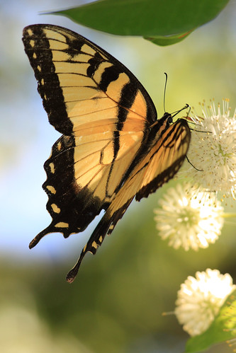 EASTERN TIGER SWALLOWTAIL BUTTERFLY (3 Shot Series)