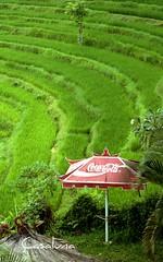 Rice and Coke (agriturismo casa luna) Tags: bali food umbrella indonesia rice terrace coke cocacola agriculture ubud