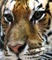 WWPWL-Tiger (Laura Covey) Tags: michigan tiger lansing amurtiger potterparkzoo scottkelbysworldwidephotowalk