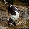 Wild thing (Simon Bone Photography) Tags: dog pet bigma bitch springer springerspaniel bella quarry k9 retrieve retrieving liverandwhite sigma50500mm carnmarth wwwthehidawaycouk canoneos7d