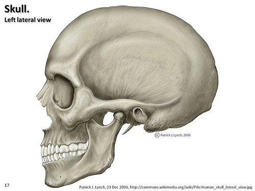skull illustration lateral view axial skeleton visual atlas page 17