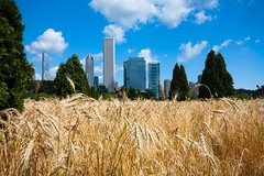 Chicago skyline et blé par Franck Vervial