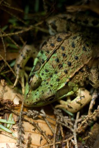 technicolor toad