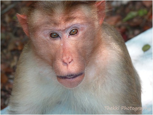 When I Monkeyed - Bonnet Macaque (Macaca radiata)