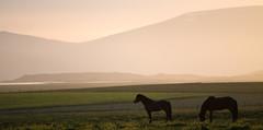 DSC_4920-Modifier (origine1) Tags: sunset horses against field de soleil daylight iceland jour contre islande couch poney varmahlid