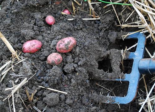 Digging for potatoes1