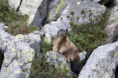 Marmotta - Marmot (roby2987) Tags: mountain nikon valle if marmot tamron montagna ld marmotta d90 200400 brembana
