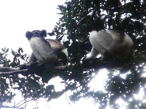Indris bajo la lluvia