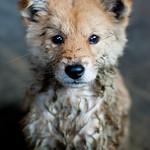 Zhongliu dog (Guangxi)