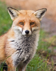 Australian fox (nature lover6) Tags: park red wild mammal wildlife ngc australian australia perth fox western caversham platinumheartaward platinumpeaceaward