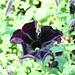 A Black Petunia?