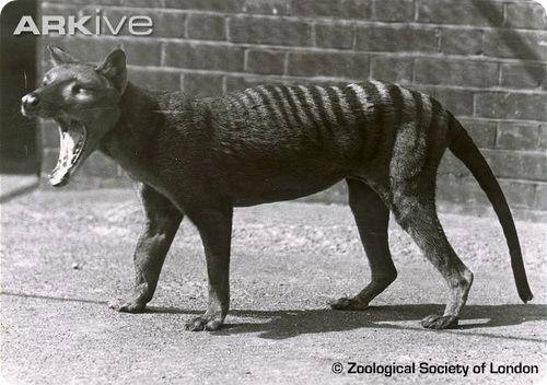 thylacinus Тилацин