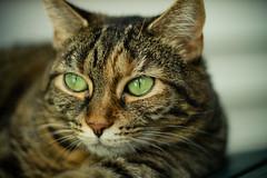 lazy green eyed cat
