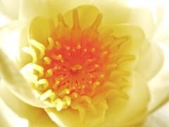 Water Lily no. 2 (infunuk) Tags: macro closeup waterlily