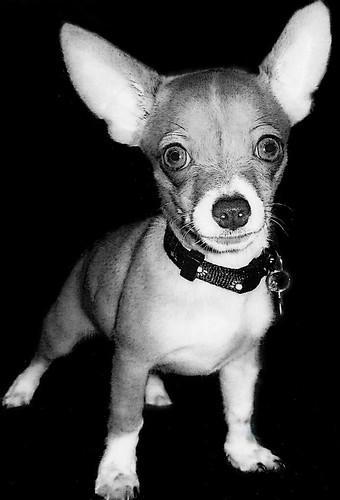 フリー写真素材, 動物, 哺乳類, イヌ科, 犬・イヌ, チワワ, モノクロ写真,