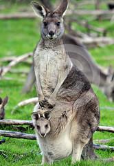 Flyer & Joey (NikkorAF) Tags: grey flyer joey australian melbourne eastern austraia easterngrey helloworldfromaustralia