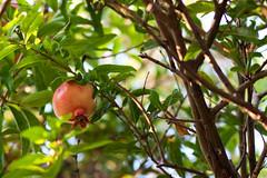 ripe ruby (ion-bogdan dumitrescu) Tags: lebanon tree pomegranate orchard ripe byblos jbeil bitzi  jubayl ibdp mg5976 punicagranata gettyvacation2010 ubayl ibdpro wwwibdpro ionbogdandumitrescuphotography
