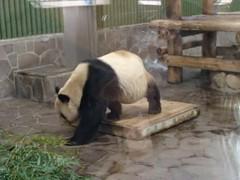 Kou Kou () (kuromimi64) Tags: bear japan zoo video panda kobe giantpanda     koukou  ojizoo