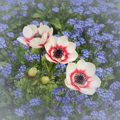Anemone spec. / cv., Myosotis spec. / cv. - 2008-04-24-_DSC0022 (jakobae) Tags: pflanzen anemone ranunculaceae südtirol frühling meran myosotis trauttmansdorff borraginaceae