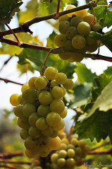 Last harvest grapes of