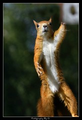 High Five! (Grievous247) Tags: cute nature fur squirrel funny wildlife redsquirrel naturelovers a700 nbw sonya700 sal70400g sonyphotochallenge sonyalpharumors