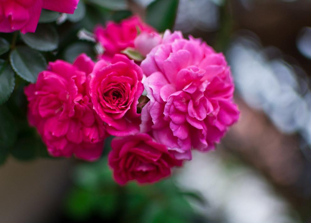 Rosas completamente florecidas son vistas en el jardín de la casa de Tomasa Blanco en Caapucú, departamento de Paraguarí, en la tarde del sábado 11 de Setiembre. (Elton Núñez - Paraguari, Paraguay)