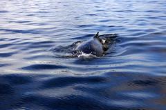 Baleine  bosse prs de Petterman Island (hinayana) Tags: voyage sea mer mar sailing iceberg bateau antartida froid hielo voilier glace antarctic dcouverte sailingboat antarctique hinayana sailingemotion