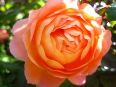 Image 525 (xwelhamite) Tags: rose rosaceae closeuprose