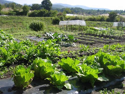 秋野菜の畑 2008年10月2日 by Poran111