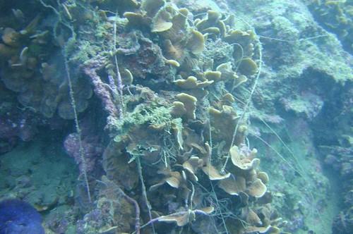 被魚網覆蓋的珊瑚。(陳玄州提供)