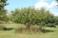 "Healthy Unsprayed Apple Tree <a style=""margin-left:10px; font-size:0.8em;"" href=""http://www.flickr.com/photos/91915217@N00/4994641507/"" target=""_blank"">@flickr</a>"