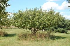 "Healthy Unsprayed Apple Tree <a style=""margin-left:10px; font-size:0.8em;"" href=""http://www.flickr.com/photos/91915217@N00/4994641507/"" target=""_blank"">@flickr</a>"