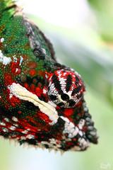 Chama, chama, chama.. (Lea's UW Photography) Tags: zoo chameleon chamäleon canon7d leamoser