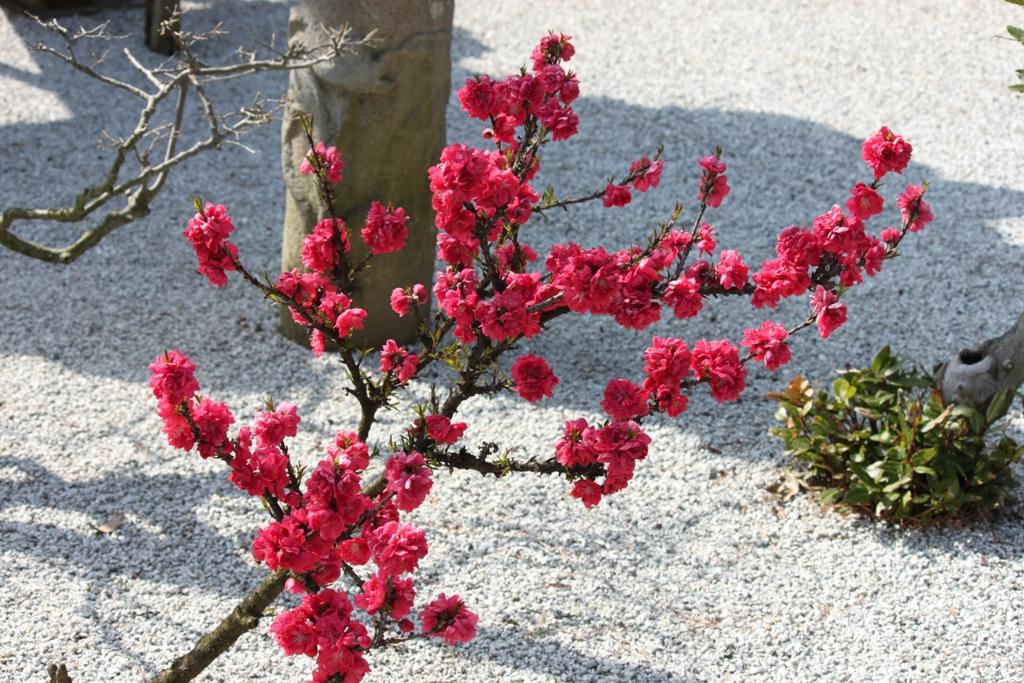 Sakura tour in Yamanashi (17)
