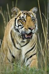 Tiger walking through bamboo (Panthera Cats) Tags: india outdoor wildlife tiger conservation bamboo bengaltiger panthera kanhanationalpark stevewinter tigerphoto tigerimage tigerpic endangeredtiger tigerwalkingthroughbamboo tigerphotograph