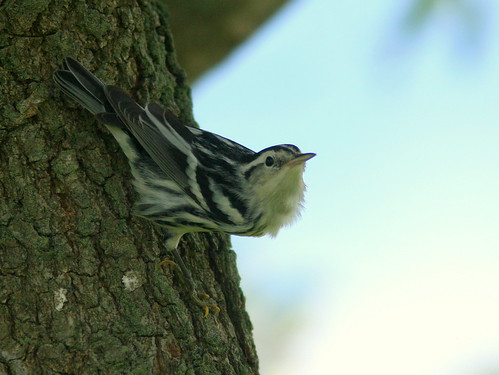 Black-and-white Warbler 2-20100916