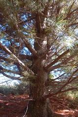 """Huge White Pine <a style=""""margin-left:10px; font-size:0.8em;"""" href=""""http://www.flickr.com/photos/91915217@N00/4997184485/"""" target=""""_blank"""">@flickr</a>"""