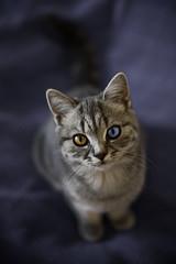 [フリー画像] 動物, 哺乳類, ネコ科, 猫・ネコ, 虹彩異色症・オッドアイ, 201009291100