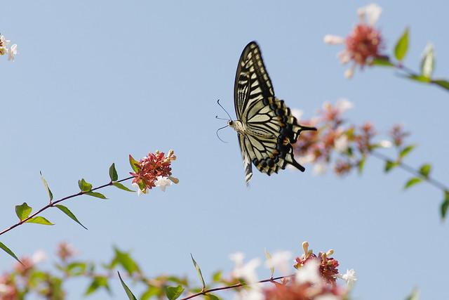 Papillio xuthus