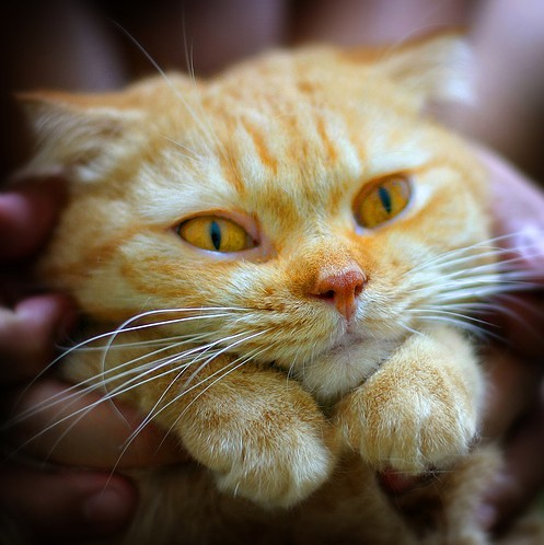 cute scottish fold orange kitten cat pic