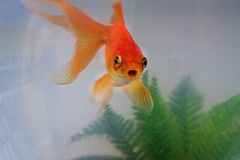 Jaffa the Fish - IMG_6126 (JamesDPhotography) Tags: pet fish canon goldfish fishbowl ef28135mm canon40d melbournephotographer jamesdemetrie carassiusauratusauratus