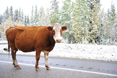 This is normal in Calgary. (Angela Mary Butler) Tags: snow cow funny random haha wtf