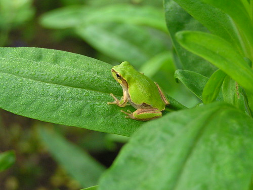 2010.09.20 Tiny Frog in my garden