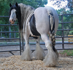 D'Jango Jazz (The Pelton Vanners Gypsy Vanner Horses) Tags: gypsy stallion vanner gypsyhorse