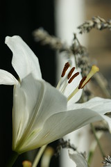 Flower (pepemczolz) Tags: flower lilly stamen