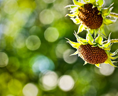 I am like a Falling Star who has finally found her Place next to another in a lovely Constellation, Where we will sparkle in the Heavens forever. (sunsinger) Tags: morning light sun newmexico southwest nature closeup nikon dof bokeh sunflowers sunlit nikond90 treebokeh