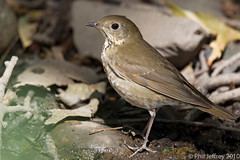 Gray-cheeked Thrush (phil.jeffrey) Tags: nyc bird centralpark manhattan wildlife avian graycheekedthrush catharusminimus wwwcatharuscom