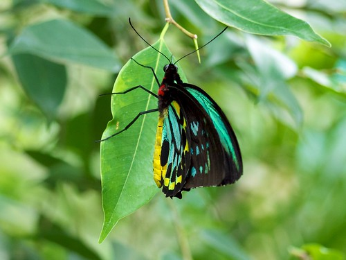 Cairns Birdwing in the Kuranda butterfly park