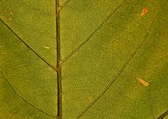Lebensadern (tomsen72) Tags: blatt ahornblatt