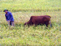 cow, rice field, Viet Nam (LarrynJill) Tags: travel vacation animal cow asia rice farm harvest vietnam agriculture picnik 2010